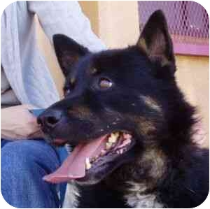 German Shepherd Dog Mix Dog for adoption in Berkeley, California - Vinnie