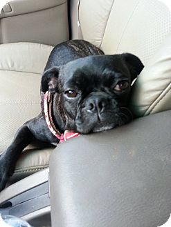 Pug/Boston Terrier Mix Dog for adoption in Newark, Delaware - Lexis