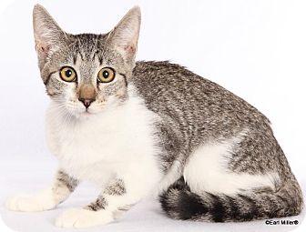Domestic Shorthair Kitten for adoption in Las Vegas, Nevada - Cookie