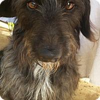 Adopt A Pet :: Scotty - Phoenix, AZ