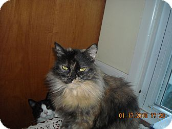 Domestic Longhair Cat for adoption in Riverside, Rhode Island - Anna