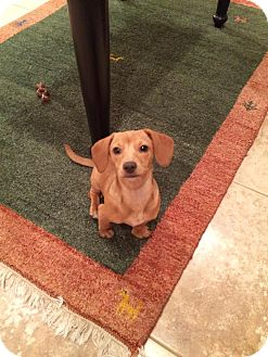Dachshund/Chihuahua Mix Puppy for adoption in Green Cove Springs, Florida - Spenser