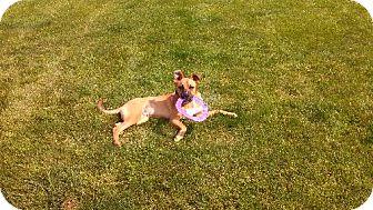 Boxer/Sheltie, Shetland Sheepdog Mix Dog for adoption in Carroll, Ohio - Little Bear   COURTESY POST
