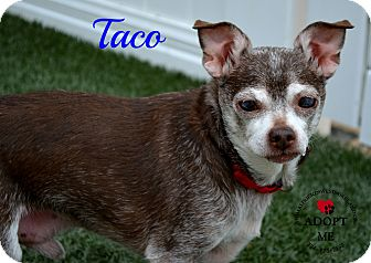 Chihuahua Mix Dog for adoption in Youngwood, Pennsylvania - Taco