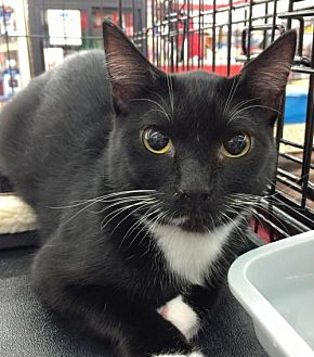 Domestic Shorthair Cat for adoption in Lawton, Oklahoma - SUMMIT