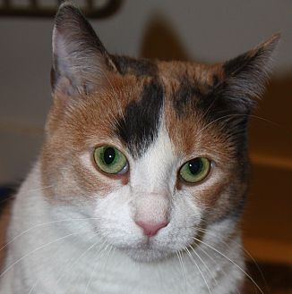Domestic Shorthair Cat for adoption in North Branford, Connecticut - Tripod