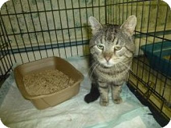 Domestic Shorthair Cat for adoption in Manchester, Connecticut - Maury