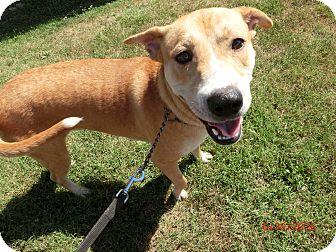 Labrador Retriever/Labrador Retriever Mix Dog for adoption in MC KENZIE, Tennessee - George