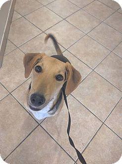 Beagle/Hound (Unknown Type) Mix Dog for adoption in Oviedo, Florida - Annie