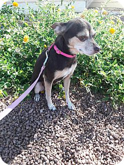 Chihuahua Mix Dog for adoption in Las Vegas, Nevada - Dolly