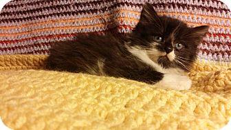 Domestic Longhair Kitten for adoption in Berlin, Connecticut - Oreo
