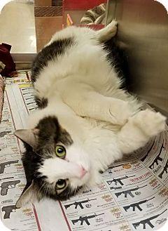 Domestic Longhair Cat for adoption in Elyria, Ohio - Howard