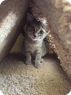 Domestic Shorthair Kitten for adoption in Bishopville, South Carolina - Anna