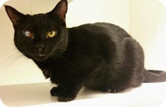 Domestic Shorthair Cat for adoption in Reisterstown, Maryland - Leela