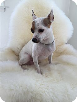 Jack Russell Terrier/Chihuahua Mix Dog for adoption in Santa Monica, California - Marshmellow