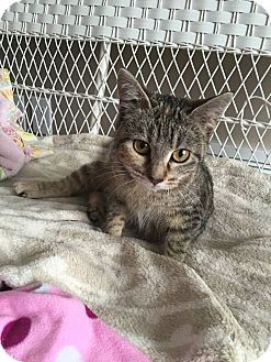 Domestic Shorthair Kitten for adoption in Des Moines, Iowa - Buttons