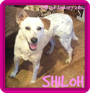 Australian Cattle Dog Mix Dog for adoption in Jersey City, New Jersey - SHILOH