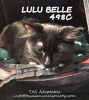 Domestic Shorthair Cat for adoption in Spring, Texas - LuLu Belle