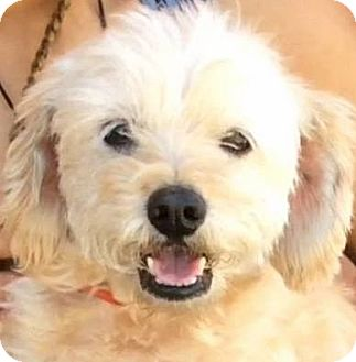 Cairn Terrier/Poodle (Miniature) Mix Dog for adoption in Los Angeles, California - ALDO (video)