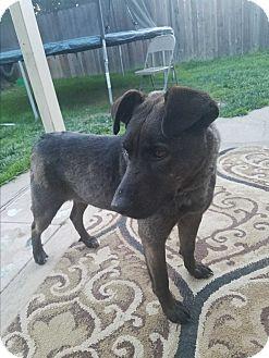 Labrador Retriever/Chow Chow Mix Dog for adoption in Lodi, California - Nina