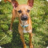 Adopt A Pet :: Cocoa - Leander, TX
