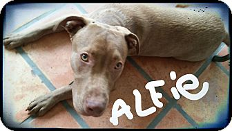 Labradoodle Puppy for adoption in Palm Bay, Florida - ALFIE