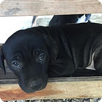 Adopt A Pet :: Harley - Hillsboro, MO