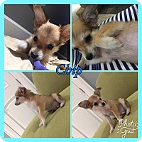 Adopt A Pet :: Chip Fox RBF - Spring Valley, NY