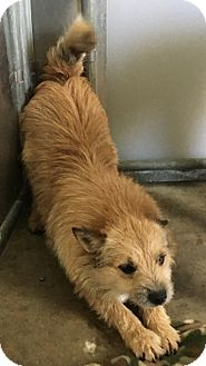 Norwich Terrier Mix Dog for adoption in Claremore, Oklahoma - Telly