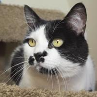 Domestic Shorthair/Domestic Shorthair Mix Cat for adoption in Divide, Colorado - razz-a-ma-taz