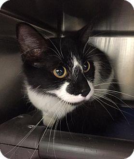 Domestic Shorthair Cat for adoption in Jackson, Michigan - Panda