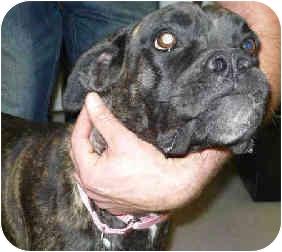 Boxer Mix Dog for adoption in San Clemente, California - SAFARI