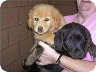 Golden Retriever/Labrador Retriever Mix Puppy for adoption in Baltimore, Maryland - Golden Beauties