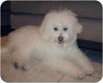 Bichon Frise Mix Puppy for adoption in La Costa, California - Bella