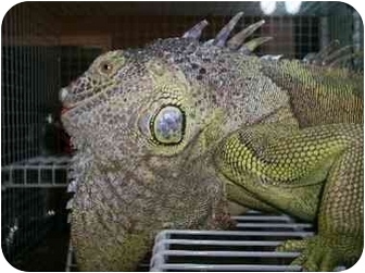 Iguana for adoption in Durham, North Carolina - Gumby