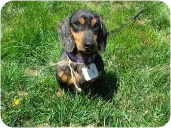 Dachshund Dog for adoption in Crown Point, Indiana - Pepe