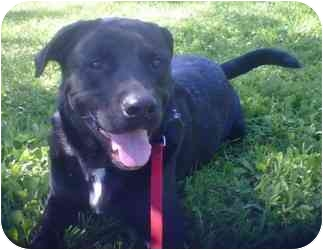 Labrador Retriever/Rottweiler Mix Dog for adoption in Des Moines, Iowa - Rider