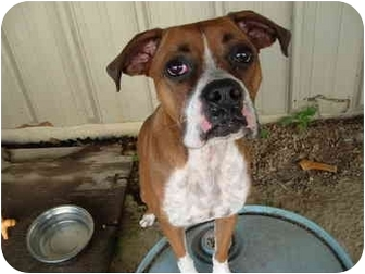 Boxer Mix Dog for adoption in Julian, North Carolina - Kasey