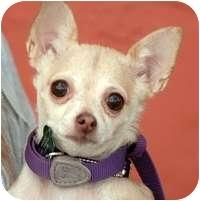 Chihuahua Dog for adoption in Denver, Colorado - Bibbles