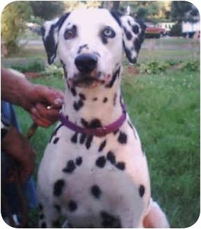 Dalmatian Dog for adoption in Steger, Illinois - Billy Boy