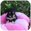Photo 4 - Terrier (Unknown Type, Small)/Poodle (Miniature) Mix Puppy for adoption in Newport Beach, California - FELICITY