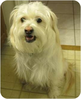 Wheaten Terrier/Cairn Terrier Mix Dog for adoption in Plainfield, Illinois - Treena