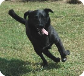 Shepherd (Unknown Type)/Retriever (Unknown Type) Mix Dog for adoption in Gaffney, South Carolina - Cupcake