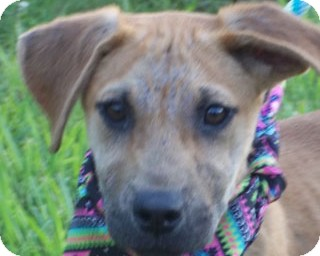 Black Mouth Cur/Labrador Retriever Mix Puppy for adoption in Bedminster, New Jersey - BOWS/Special Summer Pricing
