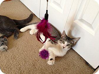 American Shorthair Kitten for adoption in Fort Collins, Colorado - Shrek