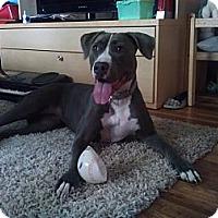Adopt A Pet :: Misty (PENDING) - Fenton, MI