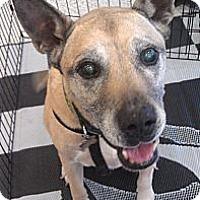 Adopt A Pet :: Bruno - Phoenix, AZ