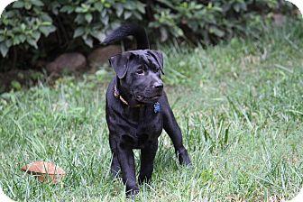 Labrador Retriever/Chow Chow Mix Puppy for adoption in Tucker, Georgia - Cinder