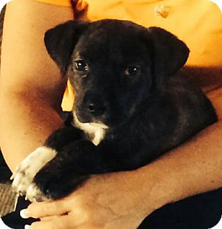 Pit Bull Terrier/Border Collie Mix Puppy for adoption in Henderson, Nevada - Gatsby
