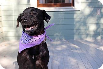 Labrador Retriever Mix Dog for adoption in Houston, Texas - Lil Dude